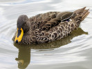 Yellow-Billed Duck (Slimbridge August 2011)